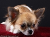chihuahua-longhaired-Aza-011