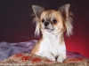 chihuahua-longhaired-Aza-012