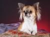 chihuahua-longhaired-Aza-012