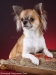 chihuahua-longhaired-Aza-014