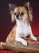 chihuahua-longhaired-Aza-014