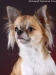 chihuahua-longhaired-Aza-016