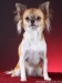 chihuahua-longhaired-Aza-017