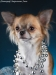 chihuahua-longhaired-Aza-018