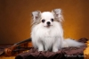 0chihuahua-longhaired-Caus-024