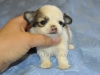 chihuahua-longhaired-Caus-001