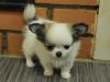 chihuahua-longhaired-Caus-003