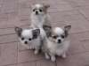 chihuahua-longhaired-Caus-006