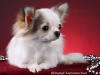 chihuahua-longhaired-Caus-010