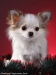 chihuahua-longhaired-Caus-013