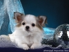 chihuahua-longhaired-Caus-015