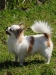 chihuahua-longhaired-Caus-017