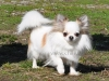 chihuahua-longhaired-Caus-018