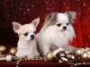 chihuahua-longhaired-Caus-021