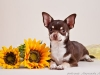 chocolate-chihuahua-smooth-coat-Chucky-007