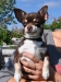 chocolate-chihuahua-smooth-coat-Chucky-014