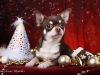 chocolate-chihuahua-smooth-coat-Chucky-019