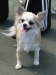 chihuahua-longhaired-Fenya-004