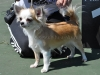 chihuahua-longhaired-Fenya-005
