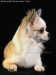 chihuahua-longhaired-Fenya-007