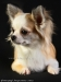 chihuahua-longhaired-Fenya-008