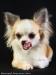 chihuahua-longhaired-Fenya-010