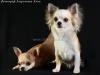 chihuahua-longhaired-Fenya-013