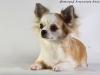 chihuahua-longhaired-Fenya-016
