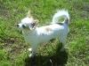 white-chihuahua-longhaired-Ksunya-006