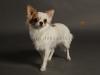 white-chihuahua-longhaired-Ksunya-015