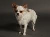 white-chihuahua-longhaired-Ksunya-016