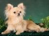 chihuahua-longhaired-Laska-004