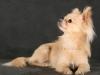 chihuahua-longhaired-Laska-007