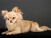 chihuahua-longhaired-Laska-012