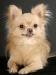 chihuahua-longhaired-Laska-013