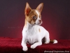 white-red-chihuahua-smooth-coat-Lusi-010