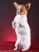 white-red-chihuahua-smooth-coat-Lusi-011
