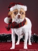 white-red-chihuahua-smooth-coat-Lusi-012