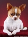 white-red-chihuahua-smooth-coat-Lusi-013