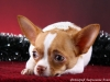 white-red-chihuahua-smooth-coat-Lusi-014