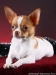 white-red-chihuahua-smooth-coat-Lusi-015
