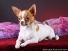 white-red-chihuahua-smooth-coat-Lusi-016