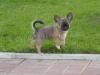 chihuahua-foto26