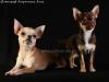 chihuahua-foto28