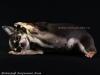 chihuahua-foto33