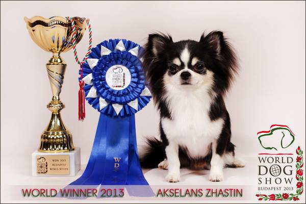 Chihuahua-World-Winner-2013