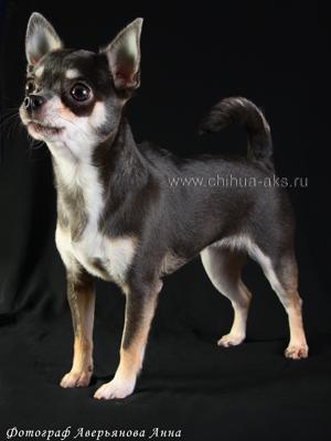blue-chihuahua-gladkosherstniy-Asya-013