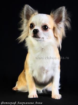 chihuahua-longhaired-Fenya-006