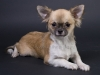 chihuahua-longhaired-Aza-010