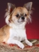 chihuahua-longhaired-Aza-013